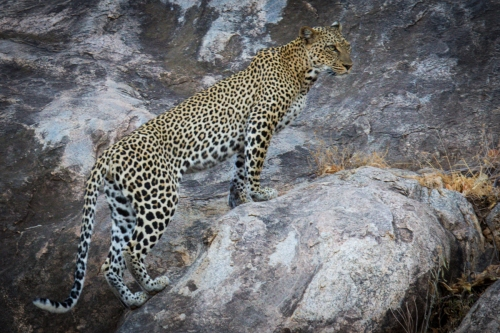Leopards can climb