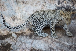 Leopard cubs are not so confident!